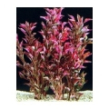 Alternanthera bettzickiana red